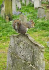 Graveyard Squirrel (Ovis Maleficus) Tags: goth squirrel gravestone graveyard grave cemetery death london photograph bunhillfields cityoflondon colour wildlife urbannature
