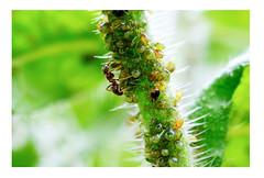 Symbiose (simson60) Tags: ameisen blattläuse zusammenleben symbiose animal animalplanet insekt macro nikon90mm