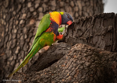 Rainbow Lorikeet (Helen C Photography) Tags: birds lorikeet australian wildlife nikon d750 colour