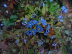 Footpath forget-me-not (Phil Gayton) Tags: plant flower forgetmenot myosotissylvatica castle hill footpath totnes devon uk
