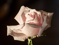 6M7A6319 (hallbæck) Tags: flowersallkinds rosa rose newdawn slyngrose climbingrose davidaustinrose flowering flower blume fleur fiore flor blomma mh hørsholm denmark canoneos5dmarkiii ef100mmf28lmacroisusm macro languageofflowers