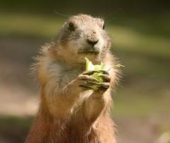Wie ... schon wieder nur Salat ? (♥ ♥ ♥ flickrsprotte♥ ♥ ♥) Tags: zoo tierpark gettorfertierpark tier präriehund gemüse