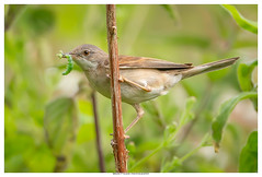 Whitethroat (Brian P Slade Photography) Tags: whitethroat birds birdwatching birding ukbirds uk ukwildlife wildlife wildlifephotography fantasticwildlife insects animals mammals brianpslade brianpsladephotography cirencester scrubland collecting summer visitor naturephotography nature naturereserve