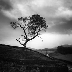 Bowland Tree (Redboxwriting) Tags: bowland lancashire aonb tree wet weather landscape blackandwhite