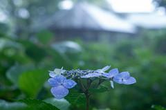Hydrangea in the rain (odeleapple) Tags: pentax k5 lls smc pentaxda 50mm hydrangea rain