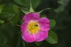 Magdalis barbicornis (black weevil) (JLM62380) Tags: magdalisbarbicornis petit charançon noir rose sauvage wild églantier briar weevil pink bug insect