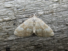 Sandy Carpet (Baractus) Tags: sandy carpet lakes join oates moth earlswood westmidlands uk