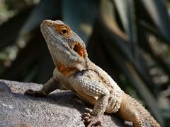 just a chameleon (irenetrazzi) Tags: chameleon camaleonte nature natura wien vienna animal animale animals animali zoo colors colori