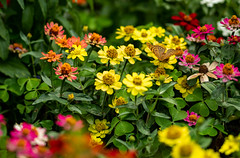 Großer Perlmuttfalter. (de.bu) Tags: schmetterling insect insekt butterfly groserperlmuttfalter flower blumen flowers makro macro fe85mmf18 sonya7r2 wildlife