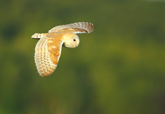 Barn Owl  ,   Hunting early evening (minvallaa) Tags: barn owl hunting grassland farmland evening meadows male dorset wild