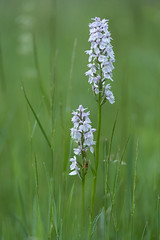 geflecktes Knabenkraut - Dactylorhiza  2 (Ratzemaus) Tags: blüten sommer orchidee knabenkraut blume pflanze geflecktes dactylorhiza maculata orchid summer plant flower sony ilce7m3 makro macro