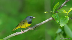 Morning Warbler (Earl Reinink) Tags: songbird warbler morningwarbler morning earlreinink potddardea
