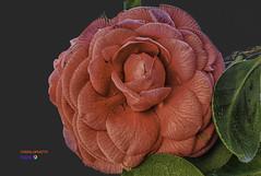 camelia (casalderreyj) Tags: flor camelia de las rias bajas vigo galicia
