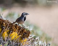 black throated sparrow on cactus (dbking2162) Tags: birds bird beautiful beauty nature nationalgeographic animal explore arizona wildlife eyes
