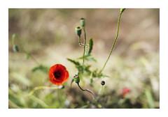 _K002768 (Jordane Prestrot) Tags: ♊ jordaneprestrot fleur flower flor coquelicot amapola poppy bokeh