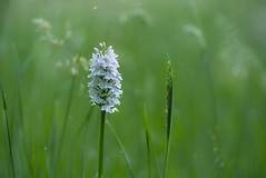 geflecktes Knabenkraut - Dactylorhiza  3 (Ratzemaus) Tags: blüten sommer orchidee knabenkraut blume pflanze geflecktes dactylorhiza maculata orchid summer plant flower sony ilce7m3 makro macro