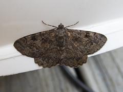Mottled Beauty (Baractus) Tags: mottled beauty lakes join oates moth earlswood westmidlands uk