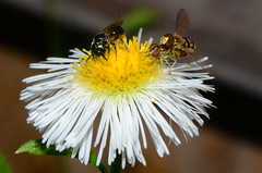 The Life of Insects (Astral Will) Tags: insects bee carpenterbee ceratina hoverfly hoverflies mating flower easterndaisyfleabane macro