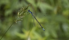 Aurora Damsel with Widespread Wings (Odonata457) Tags: male aurora damsel chromagrionconditum catoctinmountains frederickcounty maryland