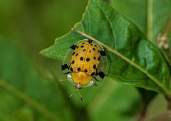 Aspidomorpha miliaris (Changer4Ever) Tags: 星斑梳龜甲 aspidomorphamiliaris nikon d750 nikkor animal life wild macro dof depthoffield bokeh closeup insect wings 1050mmf28