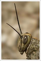 Retrato de Flip (Geno G.) Tags: macro macrofotografía macroworld naturaleza nature fauna nikond90 tamron90mm travel photography photographer cadiz campo explorer explored saltamontes grasshopper