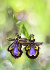 Ophrys speculum (Zagrillero) Tags: orquídea ophrysspeculum flor flower spring primavera pentacon50mm18 lentesmanuales bokeh