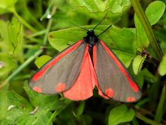 Cinnabar moth (John Spooner) Tags: cinnabar moth macro hampshire panasonic lumix gx80 gx85 olympus 60mm insect hart meadow grassland tyriajacobaeae