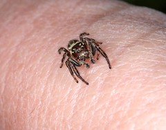 Jumping Spider (Sybalan,) Tags: spider jersey channel islands jumpingspider churchillmemorialgardens