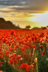 Poppies (musxhiqe62) Tags: dorset sunset red canon80d poppyfields canon uk poppies