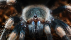 (marussia1205) Tags: паук птицеед глаза