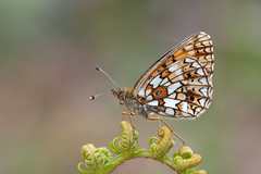 Small Pearl-bordered Fritillary-146 (davidgardiner8) Tags: butterflies eastsussex parkcornerheath smallpearlborderedfritillary