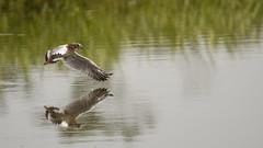 Juvenile Black-headed Gull In-flight - 1 (rq uk) Tags: rquk nikon d750 dintonpastures wokingham nikond750 tamronspaf150600mmf563divcusd blackheadedgull inflight juvenile