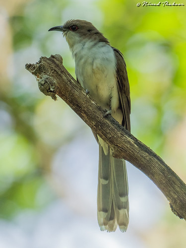 "Black-billed Cuckoo (Lifer) • <a style=""font-size:0.8em;"" href=""http://www.flickr.com/photos/59465790@N04/48085271803/"" target=""_blank"">View on Flickr</a>"