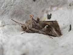 Silver Y (Baractus) Tags: silver y lakes moth john oates earlswood westmidlands uk