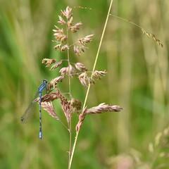 Male Common Blue Damselfly (rq uk) Tags: rquk nikon d750 dintonpastures wokingham nikond750 afsnikkor70200mmf28efledvr afsteleconvertertc14eiii commonblue male damselfly