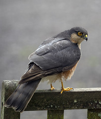 Sparrow hawk (BeachcomberCo) Tags: birdofprey bird raptor nature