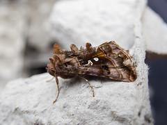 Beautiful Golden Y (Baractus) Tags: beautiful golden y lakes moth john oates earlswood westmidlands uk