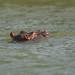 West African Hippopotamus (Hippopotamus amphibius tschadensis)