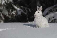 Jack the rabbit (Guy Lichter Photography - 5.1M views Thank you) Tags: rabbit animals animal wildlife rmnp manitoba canada 5d3 canon