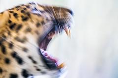 Leopard attack (Ivan Radic) Tags: angriff attacke closeup gefahr nahaufnahme attack cat danger feline leopard strike wildestier wildlife canoneosm50 sigma70300mmf456dgos speedbooster viltroxefeosm2 viltroxefeosm2071x