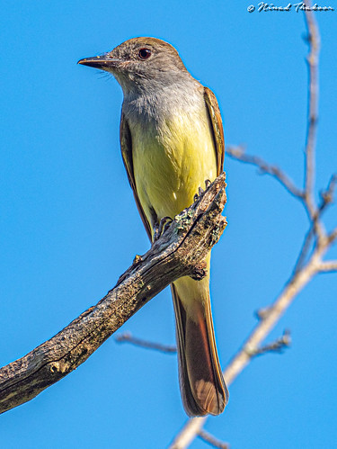 "Great Crested Flycatcher (Photo Lifer) • <a style=""font-size:0.8em;"" href=""http://www.flickr.com/photos/59465790@N04/48085325437/"" target=""_blank"">View on Flickr</a>"