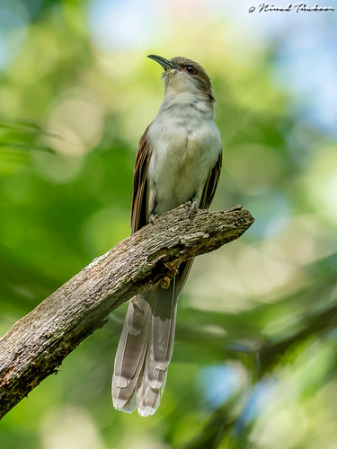 "Black-billed Cuckoo (Lifer) • <a style=""font-size:0.8em;"" href=""http://www.flickr.com/photos/59465790@N04/48085327512/"" target=""_blank"">View on Flickr</a>"