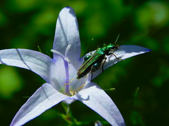 Forest Flower and Visitor (cami.carvalho) Tags: insect insecto flower field fieldflower flordocampo greeninsect flor forest floresta nature natureza