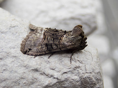 Spectacle (Baractus) Tags: spectacle lakes moth john oates earlswood westmidlands uk