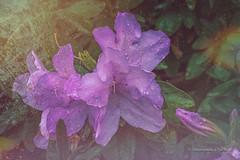 Azalea and droplets (Beckett_1066) Tags: flowers nepean penrith azalea texture droplets