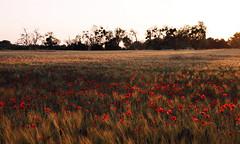 Pour le bal de ce soir, venez en robe rouge (Emmanuelle2Aime2Ailes) Tags: paysage coucherdesoleil champ coquelicots rouge