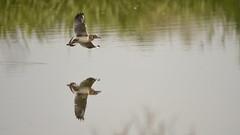 Juvenile Black-headed Gull In-flight - 2 (rq uk) Tags: rquk nikon d750 dintonpastures wokingham blackheadedgull inflight juvenile nikond750 tamronspaf150600mmf563divcusd