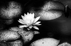 At the Water Lily Pond. (WilliamND4) Tags: pond water lily blackandwhite monochrome flower nikon d750