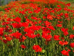 quartier de la Bleich (Colmar, F) (pietro68bleu) Tags: coquelicots fleurs rouge focus champ