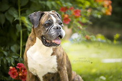 Boxer (Fabi's Photography) Tags: boxer dog chien